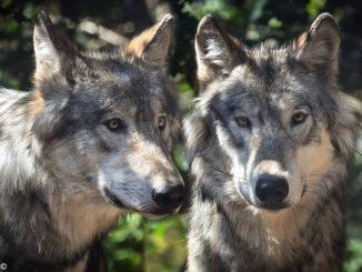 Un gregge decimato dai lupi a Mombercelli