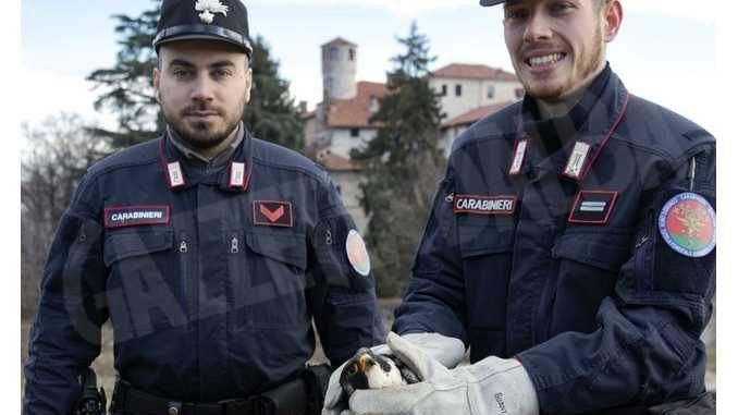 Falco pellegrino torna a volare dopo essere stato salvato dall'avvelenamento