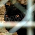 A Corneliano proseguono le ricerche della pantera: in azione anche i Carabinieri forestali