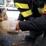 Soccorsa e liberata dai Vigili del Fuoco una lepre rimasta incastrata in un'auto