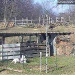 Cane salta nel recinto e ferisce due capre. Il proprietario, individuato dalle telecamere, si farà carico delle spese veterinarie