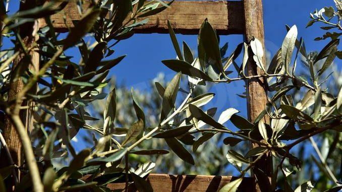 Domenica delle Palme: la Protezione civile ceresolese cerca di rami d'ulivo