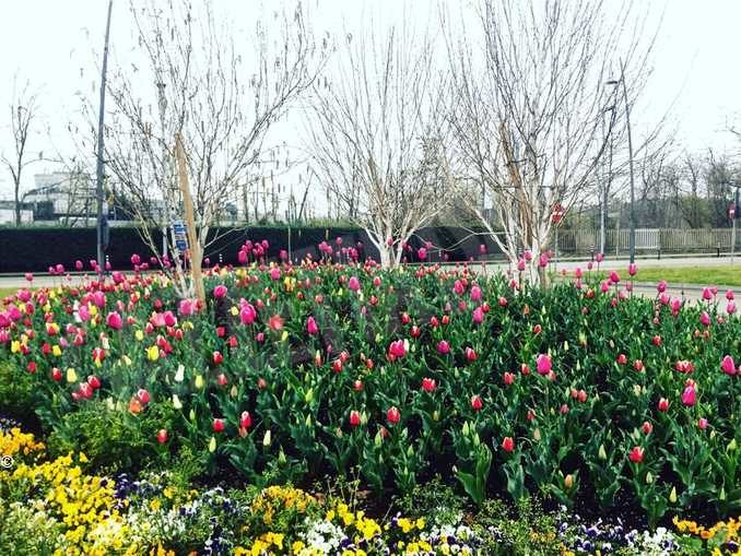 Ad Alba stanno fiorendo i tulipani donati dal castello di Pralormo a gennaio 1