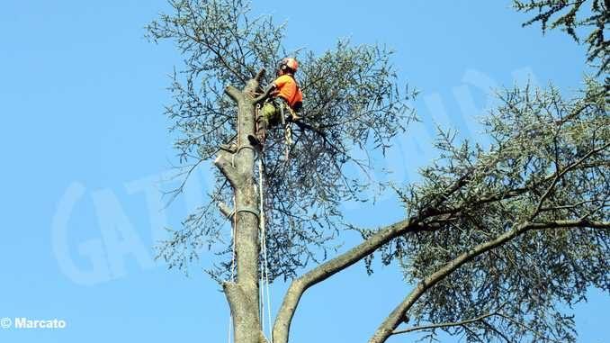 Cedri dell'Enologica, Martinetti chiede vengano sostituiti da nuove piante