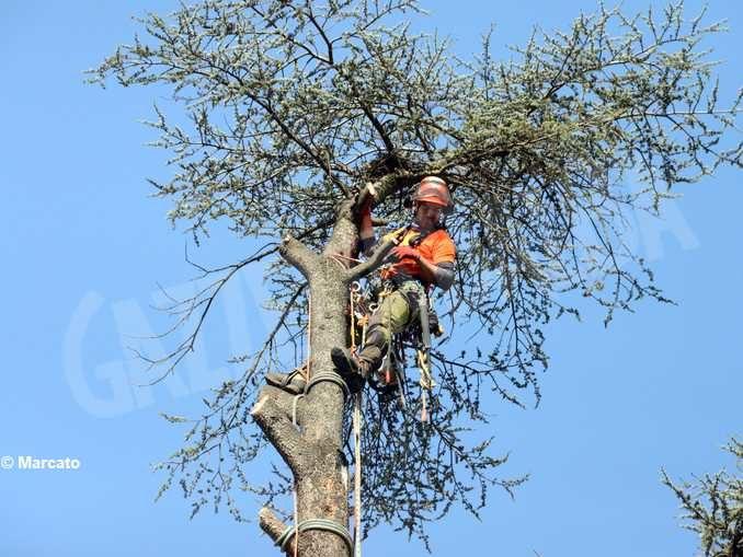 Cedri dell'Enologica, Martinetti chiede vengano sostituiti da nuove piante 1