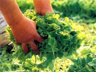 Autorizzata la coltivazione per autoconsumo degli orti a Bra