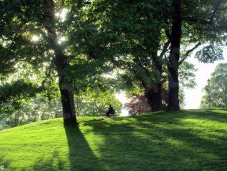 Sei alberi abbattuti e sostituiti 1