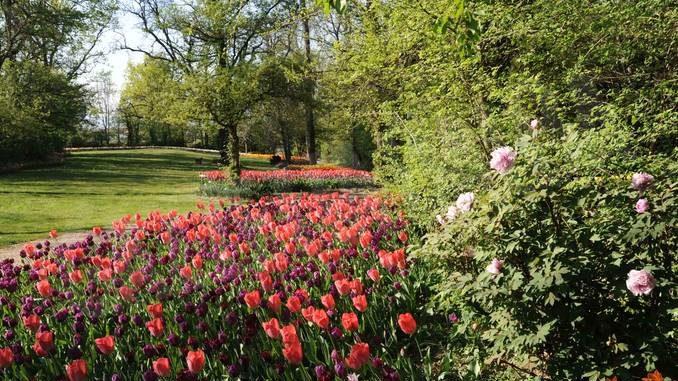 Pralormo: Messer tulipano continua a fiorire on-line