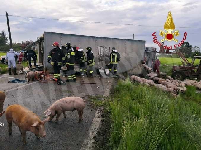Camion per trasporto di animali si ribalta con un carico di suini