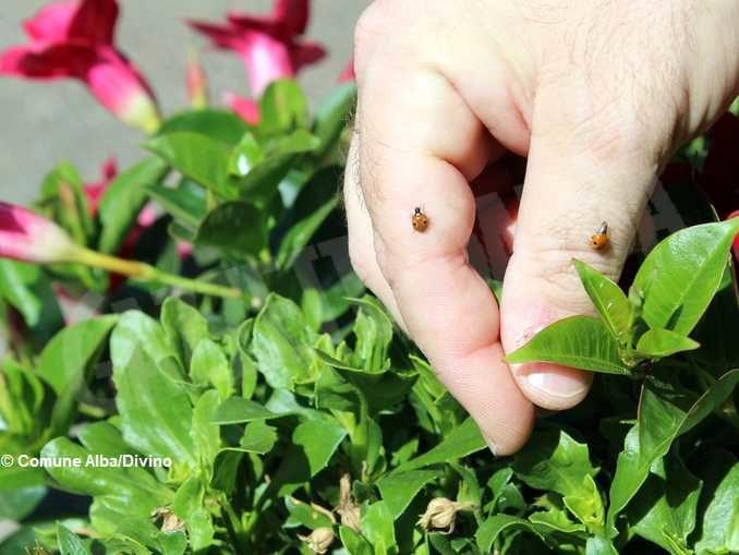 5.600 coccinelle sugli alberi albesi per la difesa biologica integrata 1