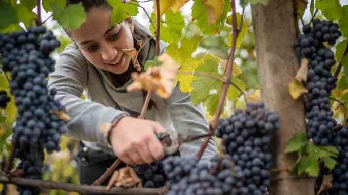 Giovani viticoltori di Montelupo crescono: c'è pure Francesca