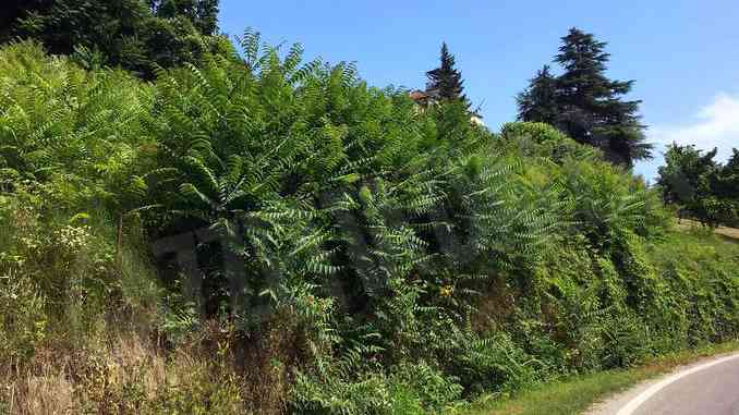 """L'""""albero del paradiso"""" che guarisce ma soffoca le altre piante"""