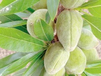 La Expergreen di Vezza vuole crescere grazie alle mandorle siciliane