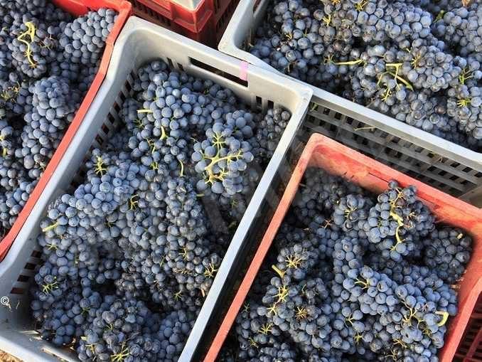 Vignaioli piemontesi accoglie nuovi soci e assicura il ritiro delle uve invendute 2