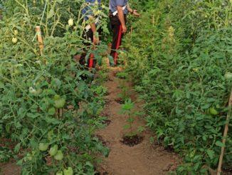 Coltivava marijuana nel cortile di casa: arrestato dai carabinieri