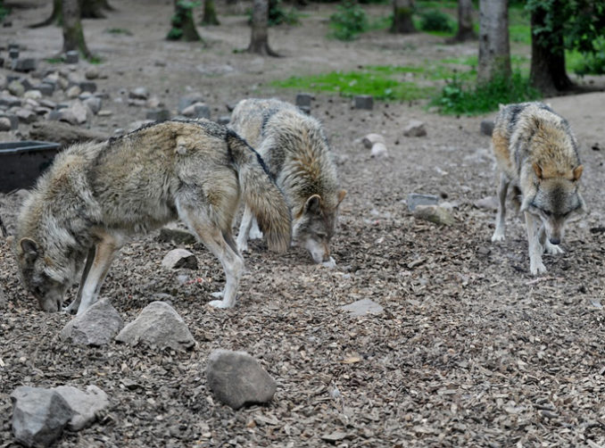 Sindaci preoccupati da attacchi di lupi, Uncem scrive al governo