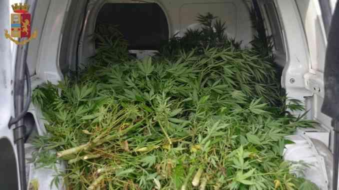 Gli agenti dell'Antidroga sequestrano una piantagione di marijuana a Cherasco