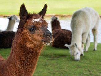 Coronavirus: negli alpaca nanoanticorpi che lo neutralizzano