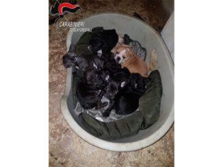 Traffico internazionale di cuccioli di cane: ne