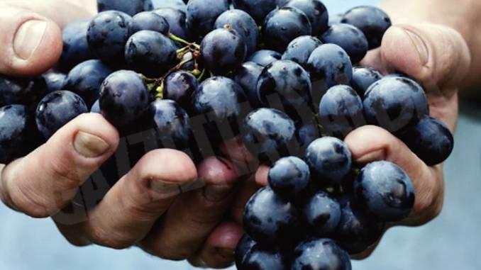 Domenica 27 c'è la Festa della vendemmia a Castagnole delle Lanze