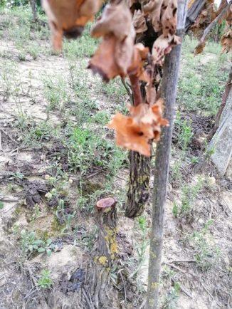 Tre filari di viti tagliate a raso: si temono altri atti vandalici a Priocca 1