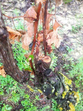 Tre filari di viti tagliate a raso: si temono altri atti vandalici a Priocca 2