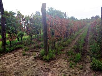 Tre filari di viti tagliate a raso: si temono altri atti vandalici a Priocca