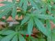 Droga: coltivazione e vendita marijuana, tutto in famiglia