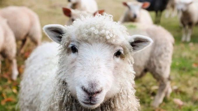 In un borgo della Langhe allevatori a Scuola di pastorizia, creata da Coldiretti e Comune di Paroldo, 365 ore di lezione