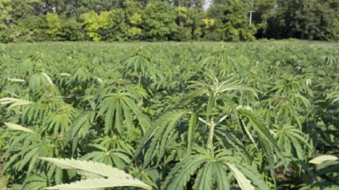 Droga: scoperte piantagioni marijuana, un arresto