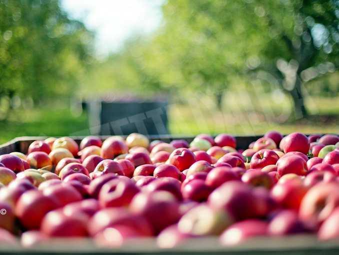 raccolta frutta mele
