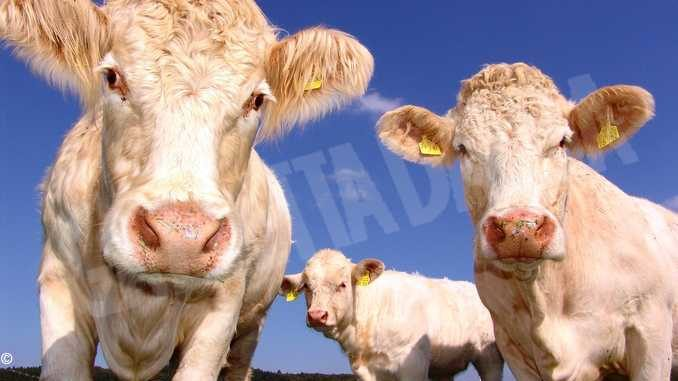 Latte, stop antibiotici prevenendo la mastite