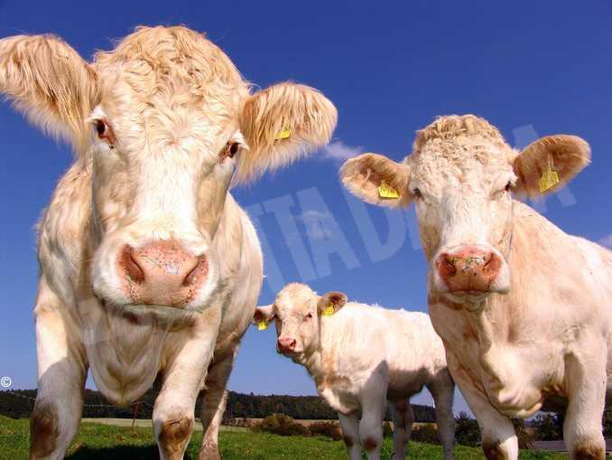 mucche bovini repertorio