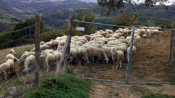 Allevatori ovini alle prese con il problema della lana da smaltire