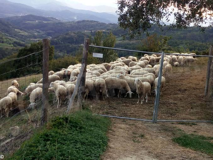 pecore Adami