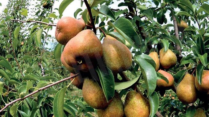 A Guarene iniziative fino a fine mese per valorizzare la pera Madernassa
