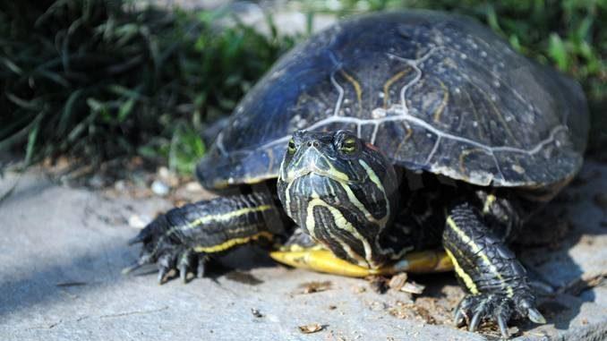 La casa delle tartarughe americane è a Sommariva Perno 1