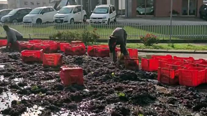 Perde il carico di uva appena vendemmiata in una rotatoria: nessun ferito (VIDEO)