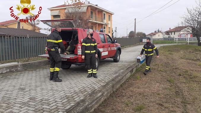 Fossano: volpe investita e recuperata dai Vigili del fuoco