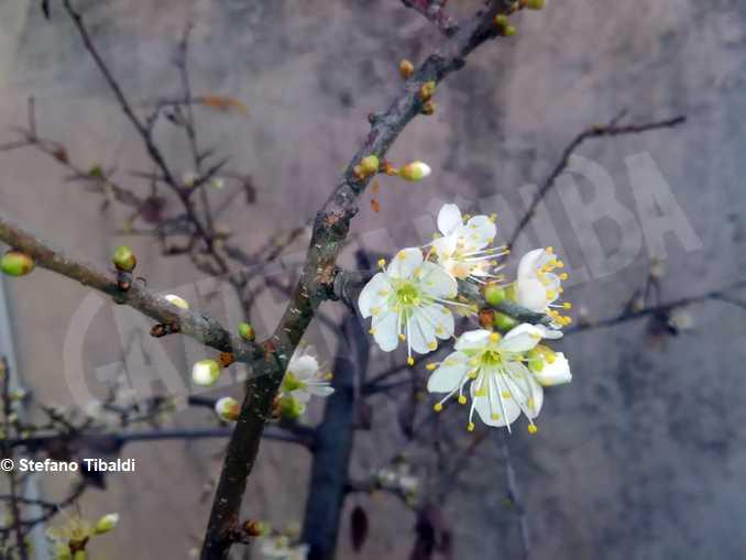 bra madonna fiori prunteo fiorito 1-foto Stefano Tibaldi