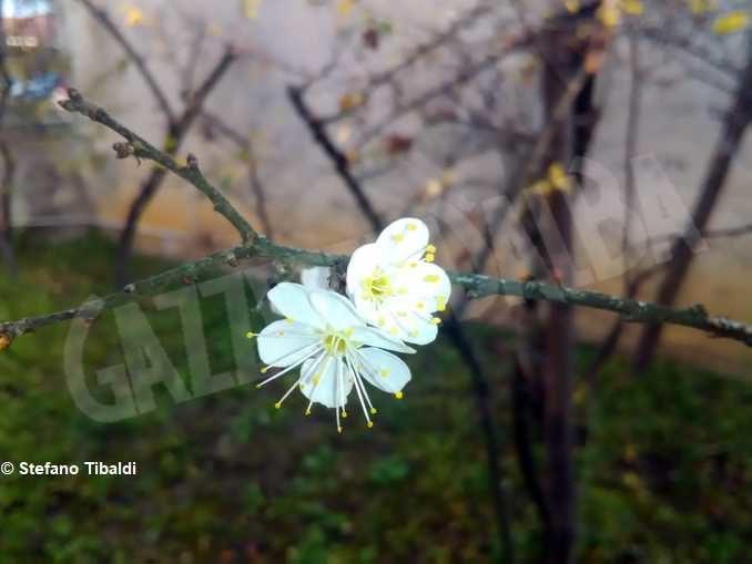 Anche quest'anno il pruneto del santuario di Bra è fiorito 1