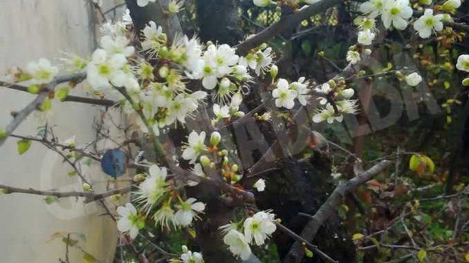 Anche quest'anno il pruneto del santuario di Bra è fiorito 3