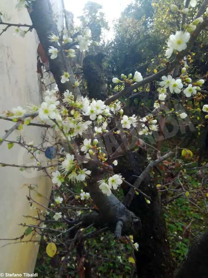 bra madonna fiori prunteo fiorito 7-foto Stefano Tibaldi