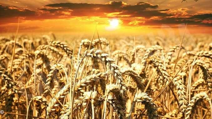 Boom di grano dal Canada (con glifosato)