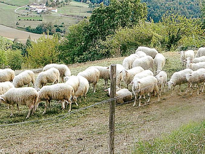 pecore Paroldo