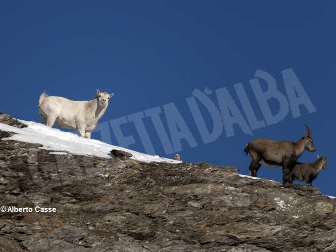 Curiosità in natura: stambecco bianco sul Monte Palon in Valle di Susa