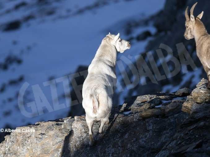 Curiosità in natura: stambecco bianco sul Monte Palon in Valle di Susa 1
