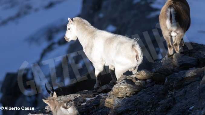 Curiosità in natura: stambecco bianco sul Monte Palon in Valle di Susa 2