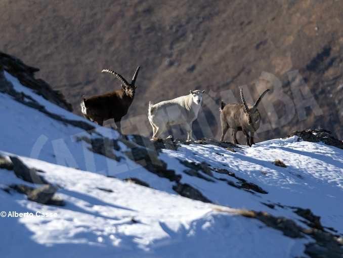 Curiosità in natura: stambecco bianco sul Monte Palon in Valle di Susa 3