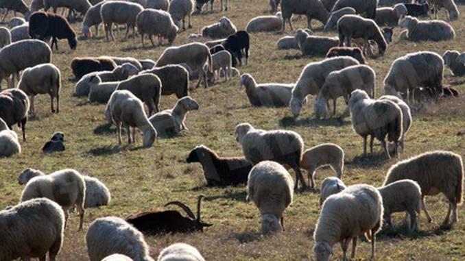 Ottocento pecore al pascolo nei pressi del castello di Pralormo